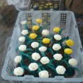 souvenir bunga kering
